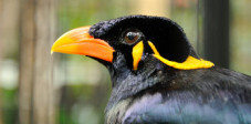 Beo im Bali Bird an Reptile Park