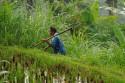 Arbeiter in den Reisterrassen Balis
