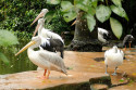 Pelikane im Bali Bird and Reptile Park