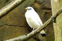 Balistar im Bali Bird and Reptile Park