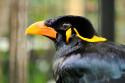 Beo im Bali Bird and Reptile Park