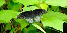 Great Mormon Schmetterling im Schmetterlingspark, Bali