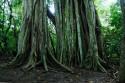 Ficus im Taman Nasional Bali Barat