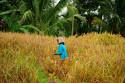 Arbeit in den Reisterrassen Balis