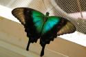 Schmetterling im Schmetterlingspark im Zentrum Balis